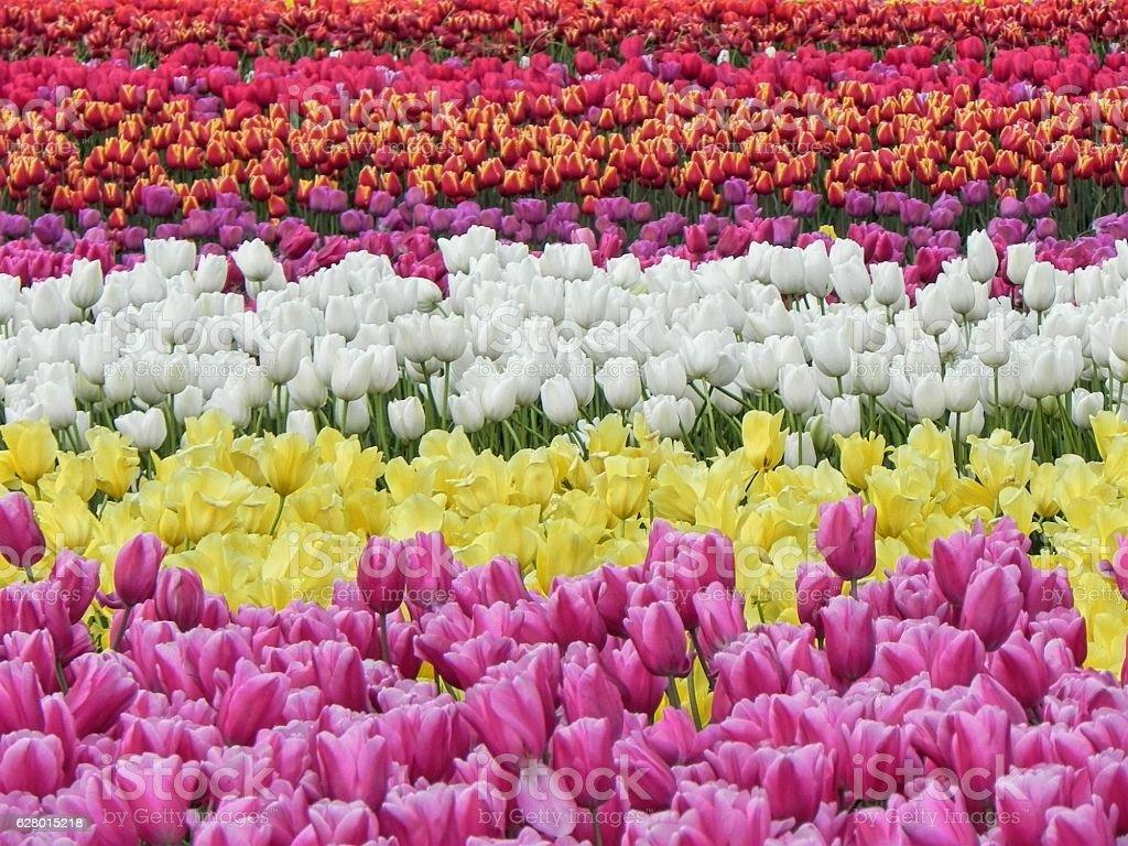 Beautiful Field of Blooming Tulips stock photo