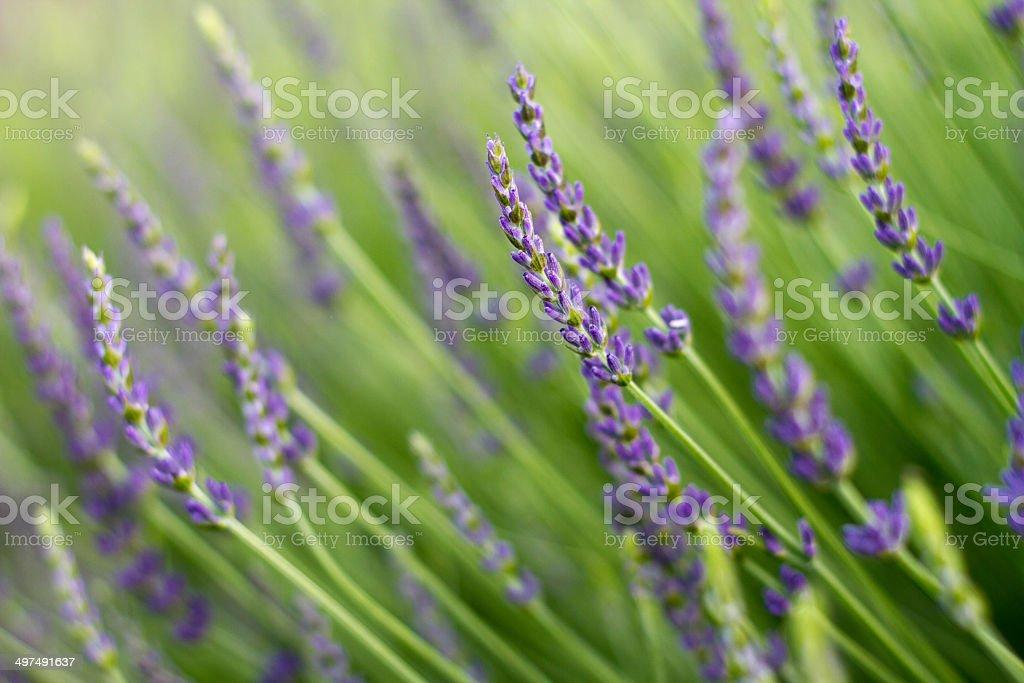 Beautiful Field of Purple Lavender, Up Close stock photo