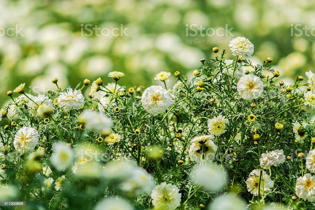 Beautiful field of white Marigold flowers stock photo