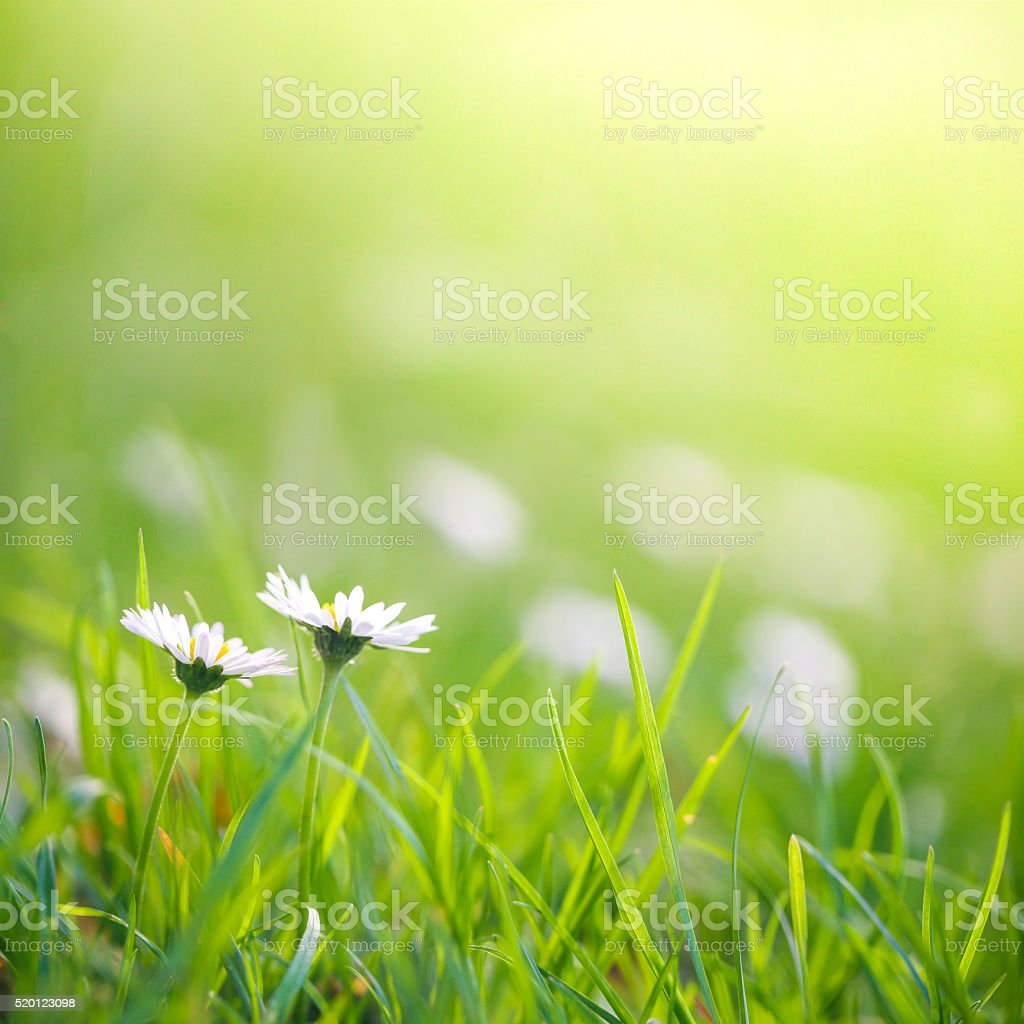 Beautiful field with daisies stock photo