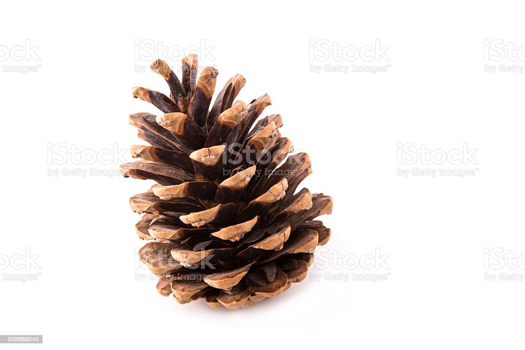 beautiful fir-cone isolated stock photo