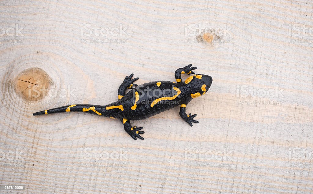 Beautiful fire salamander in the bright coloration in natural co stock photo