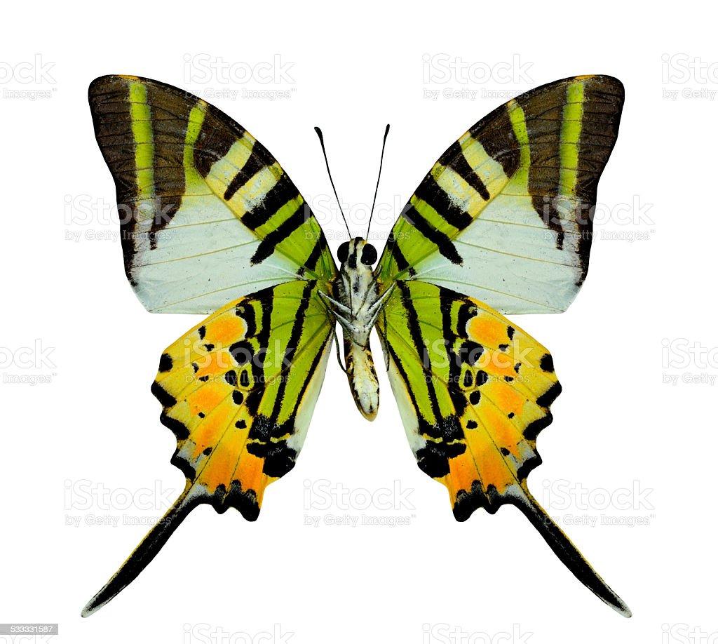 Beautiful Fivebar Swordtail Butterfly lower wing profile in natu stock photo