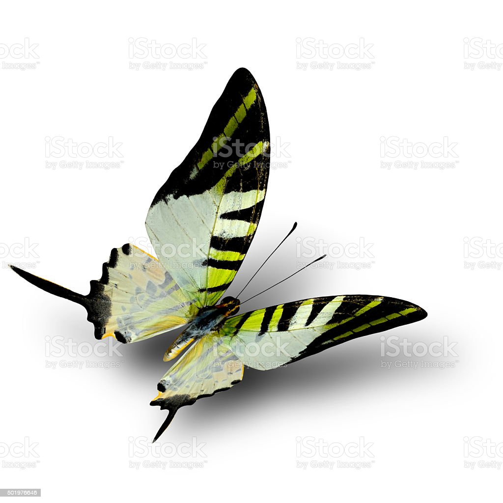 Beautiful fivebar swordtail butterfly (graphium antiplates) on white background stock photo