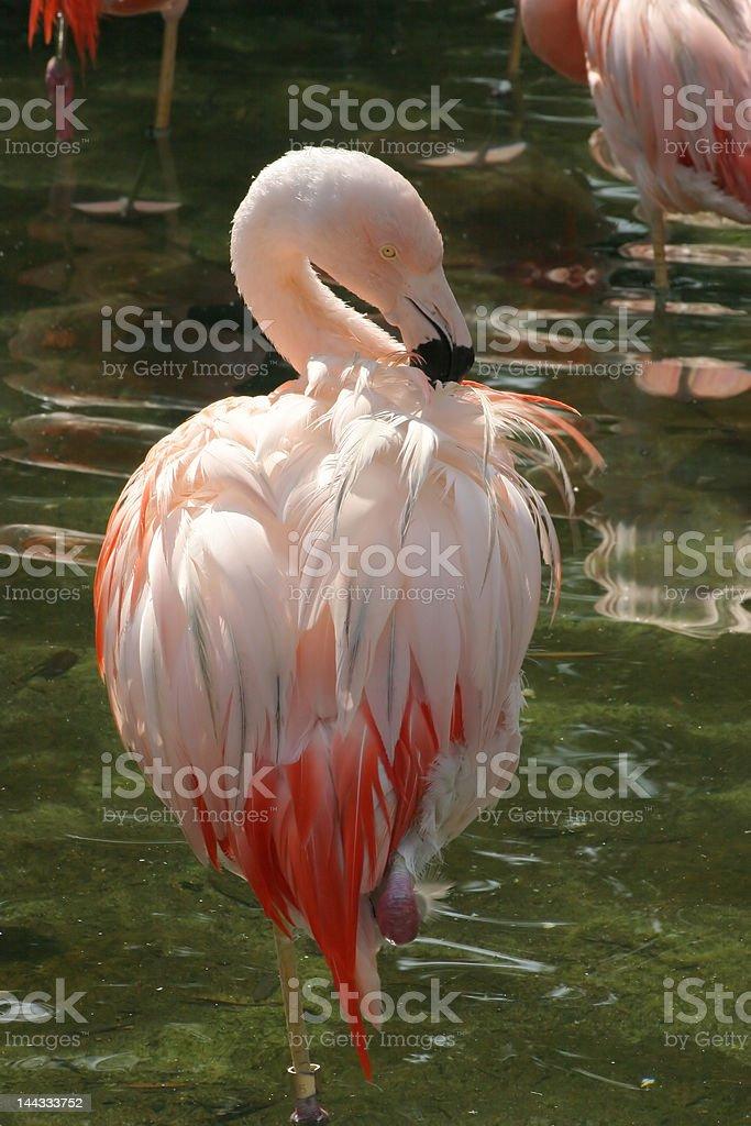 Hermoso Flamingo infantil foto de stock libre de derechos