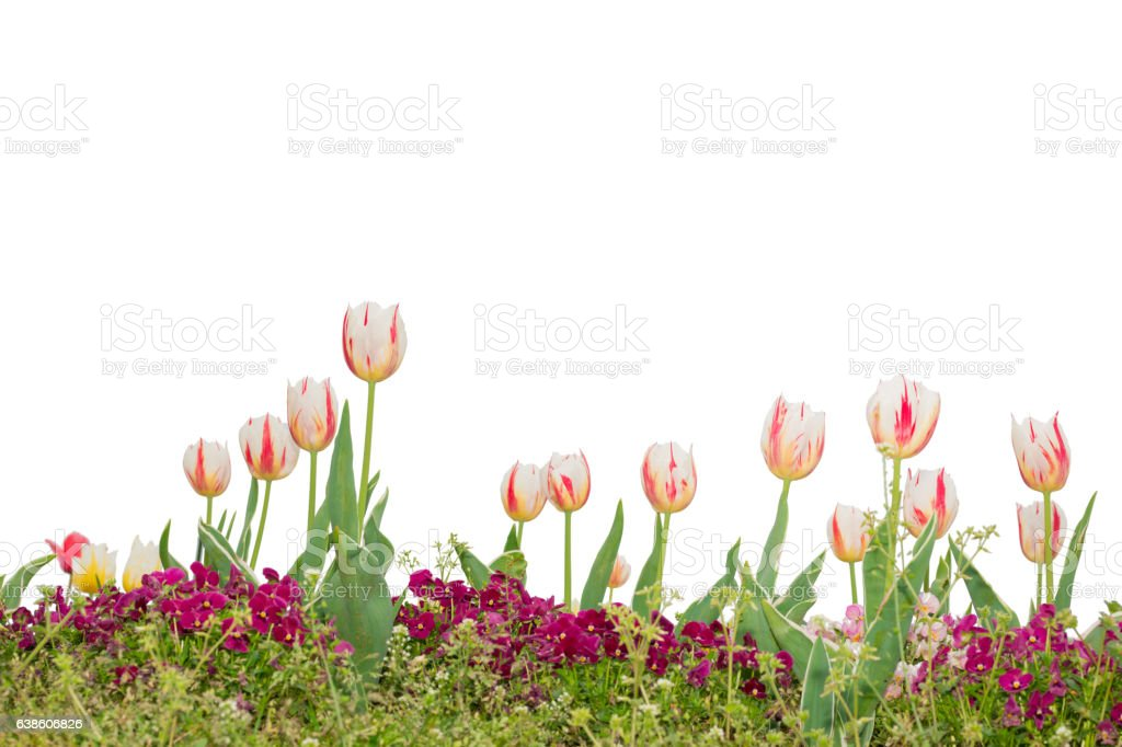 Beautiful floral white and red tulips isolated on white. stock photo