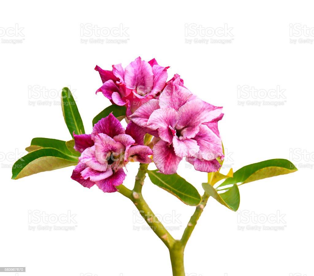Beautiful flower Azalea, Lily, desert rose. stock photo