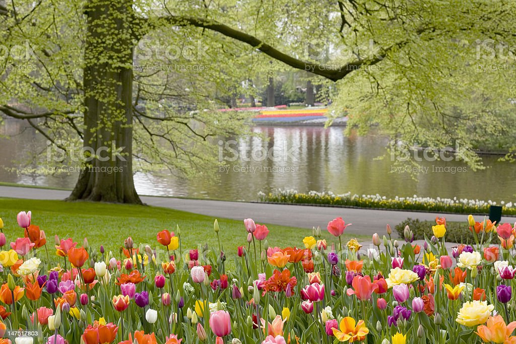 Beautiful flower bed of tulips stock photo