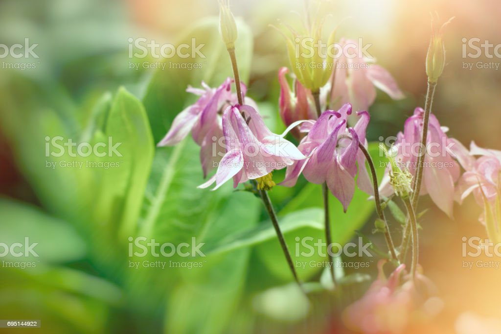 Beautiful flower bells lit by sunlight flowering in spring stock photo