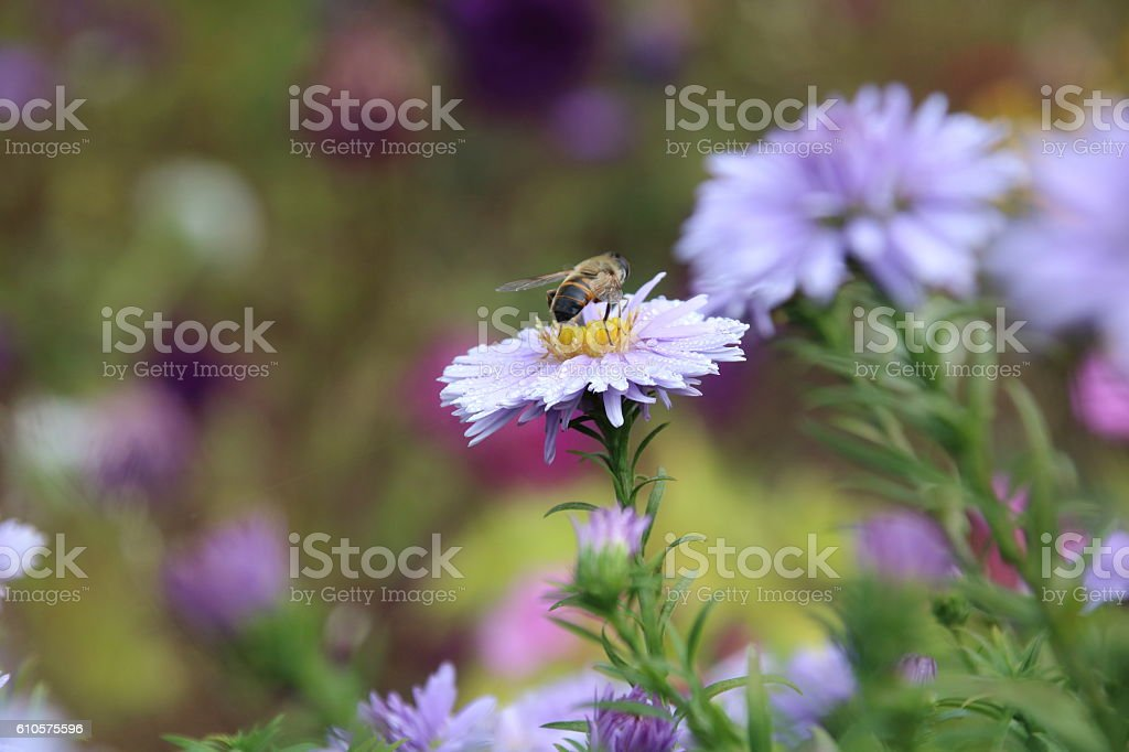beautiful flower blue aster. stock photo