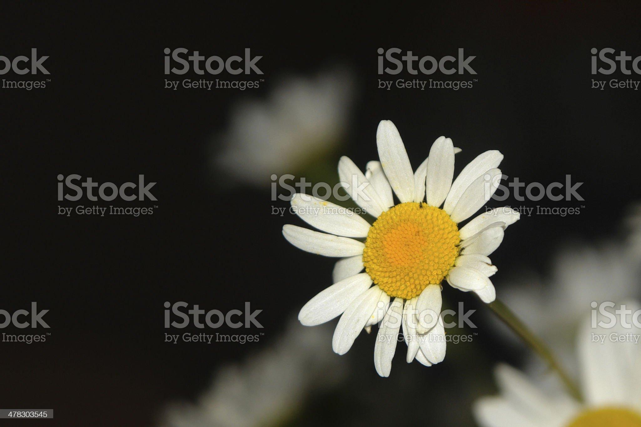 beautiful flower chamomiles in dark background royalty-free stock photo