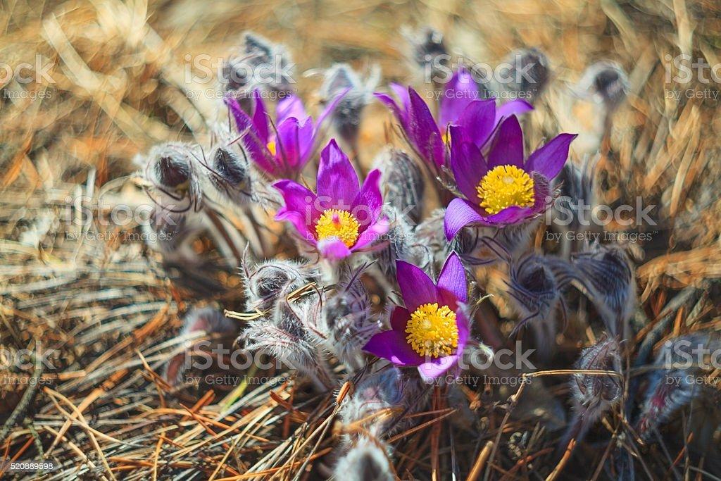 Beautiful flower Crocus stock photo