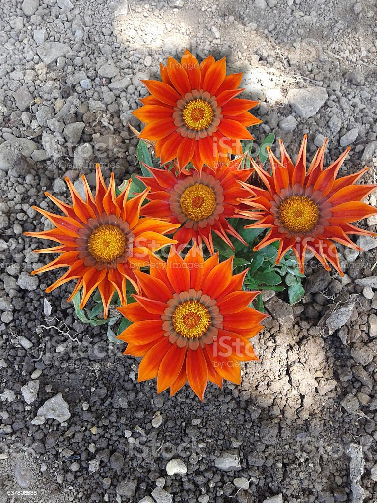 beautiful flower in the stone stock photo