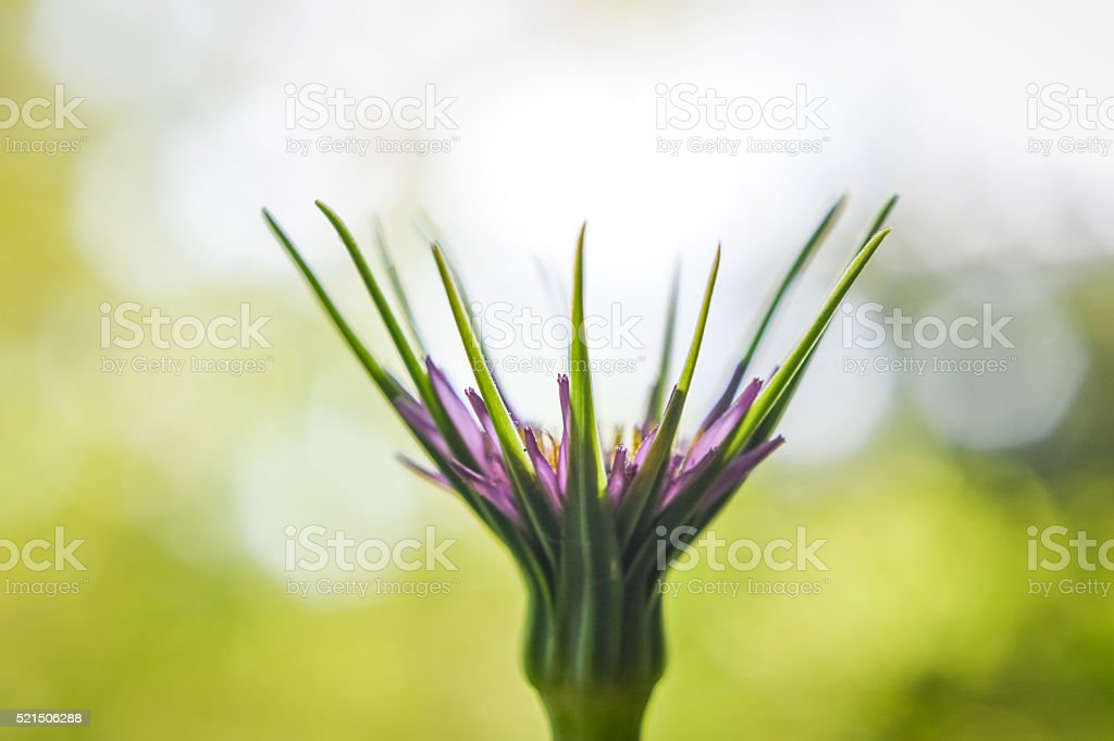 beautiful flower of salsify profile (Tragopogon porrifolius) stock photo