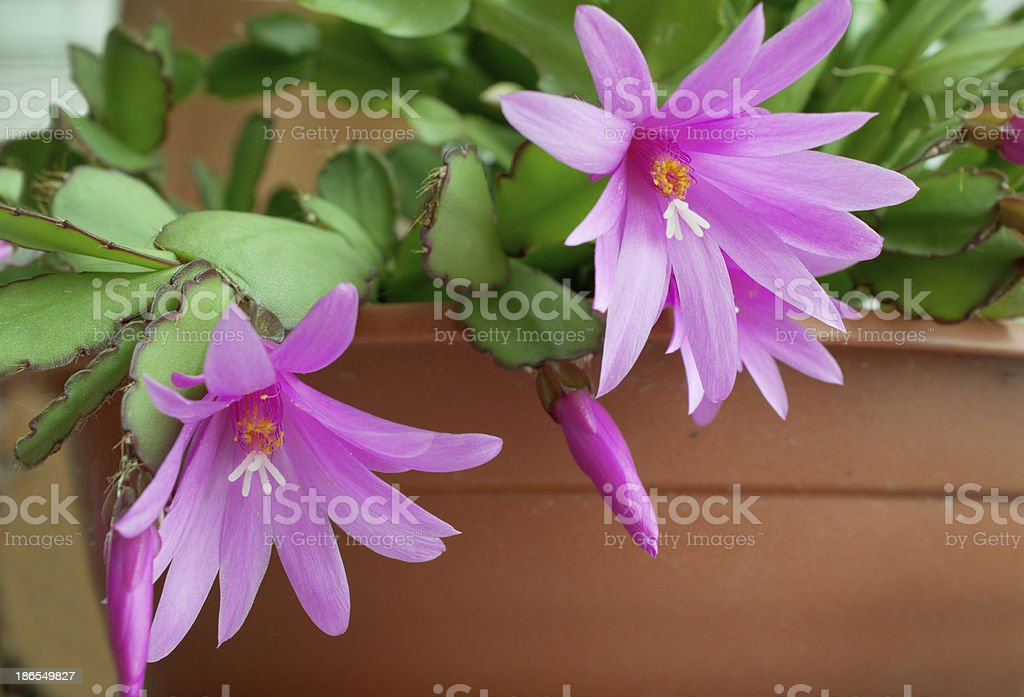 Beautiful flower of the cactus royalty-free stock photo