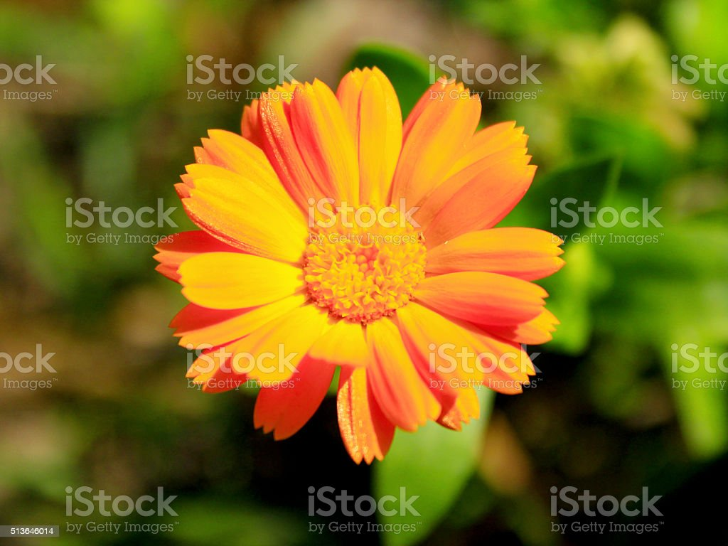 beautiful flower of yellow calendula stock photo