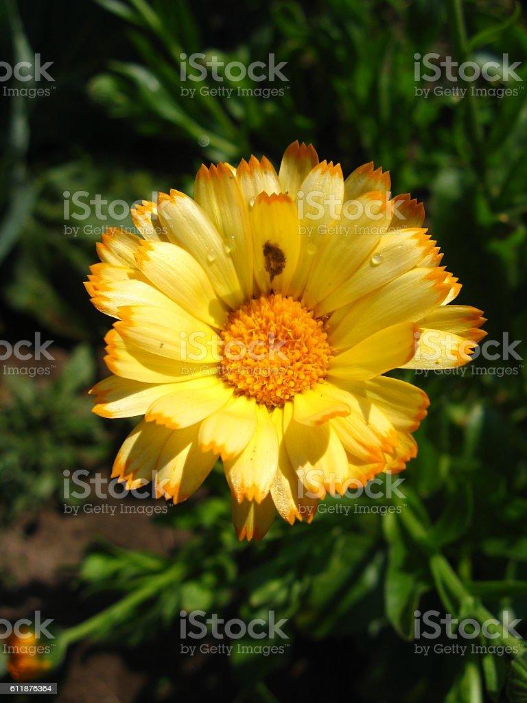 beautiful flower of yellow calendula stock photo