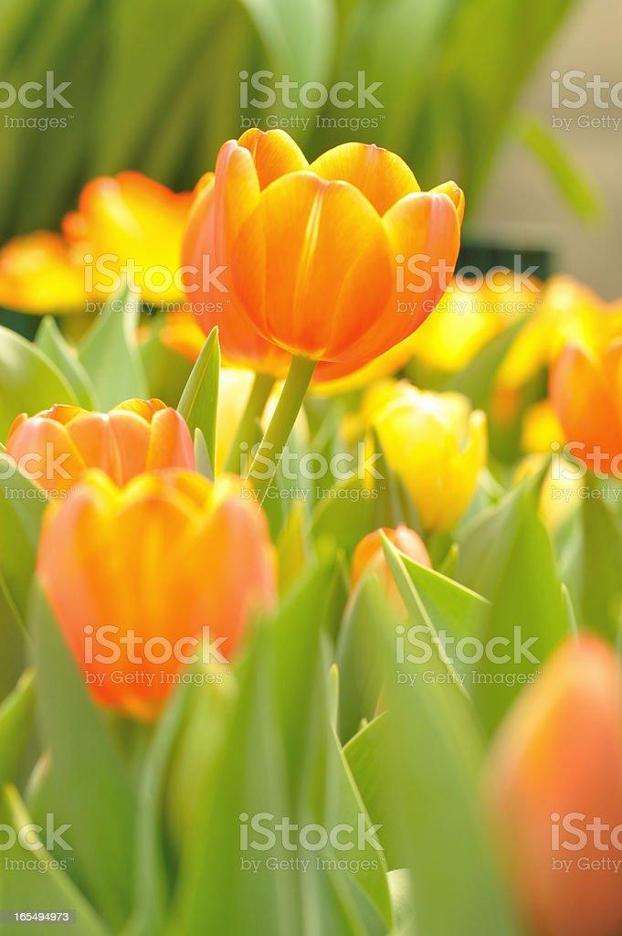 Beautiful  flower tulips royalty-free stock photo