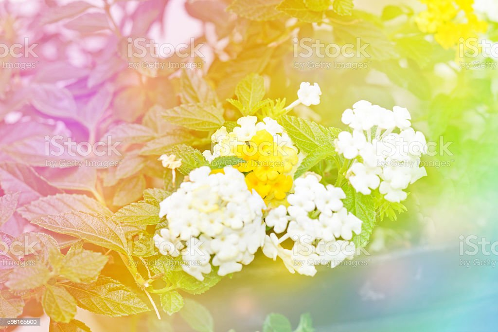 Beautiful Flower with colourful rainbow background. stock photo
