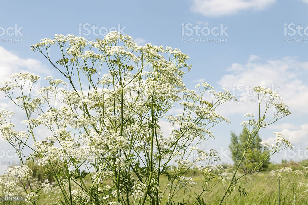 Beautiful flowering Chervil on sunny meadow against blue sky background royalty-free stock photo