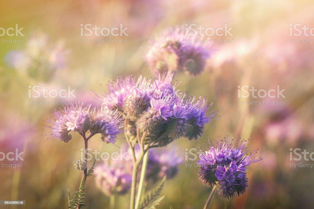 Beautiful flowering in spring - purple flower stock photo
