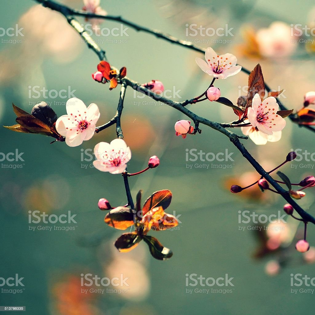 Beautiful flowering Japanese cherry Sakura stock photo