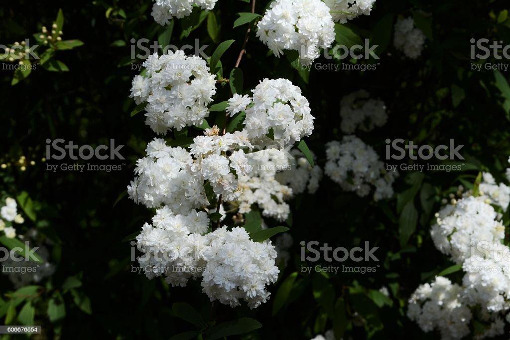Beautiful flowers bridal wreath stock photo