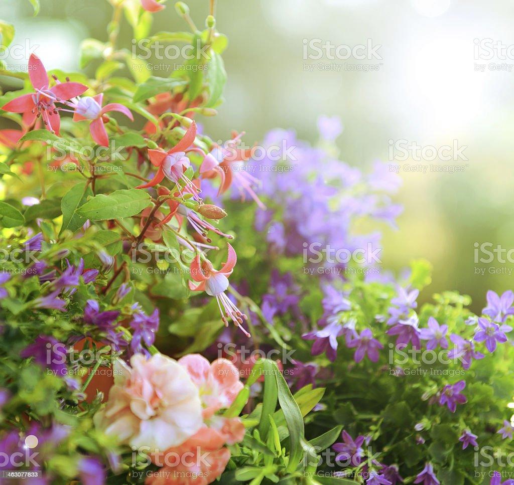 beautiful flowers, fuchsia and campanula royalty-free stock photo