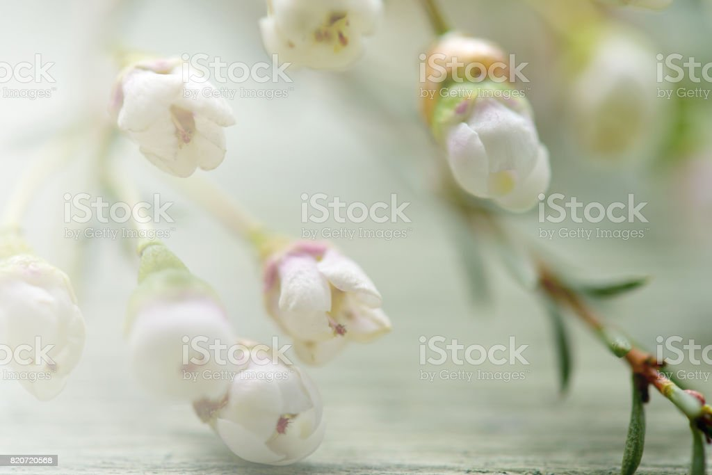 beautiful flowers heather on wooden background stock photo