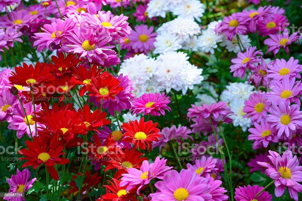 Beautiful flowers in Chiangmai, Thailand royalty-free stock photo