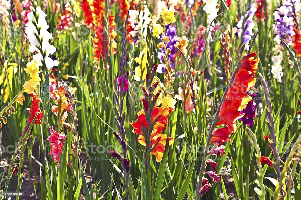 beautiful flowers in the meadow royalty-free stock photo