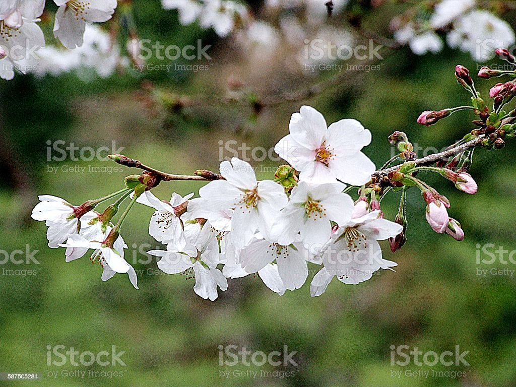 Beautiful flowers Japanese cherry-sakura stock photo
