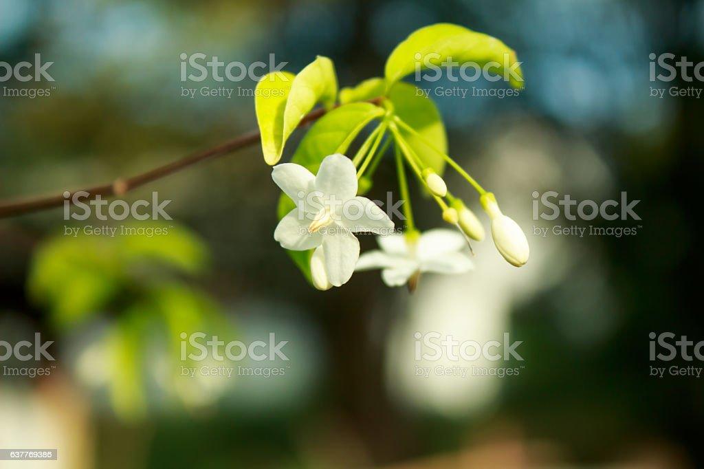 Beautiful flowers Mok in  morning light stock photo