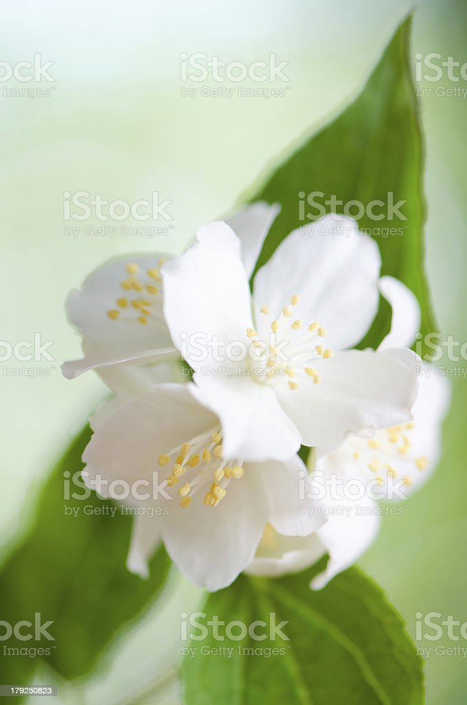 Beautiful flowers of a jasmin, close up. royalty-free stock photo