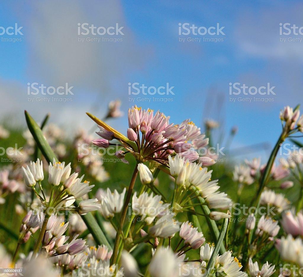 Beautiful flowers of allium roseum in the meadow stock photo