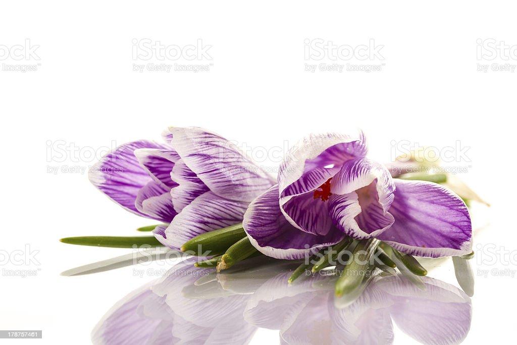 beautiful flowers of crocuses royalty-free stock photo