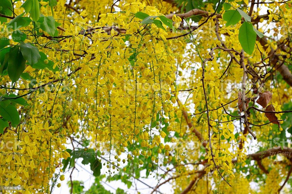beautiful Flowers of Golden Shower stock photo
