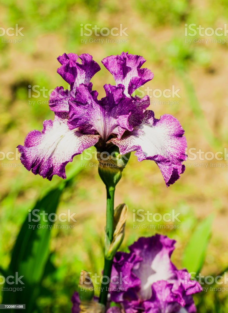 Beautiful flowers of iris. Beautiful irises on green background. stock photo