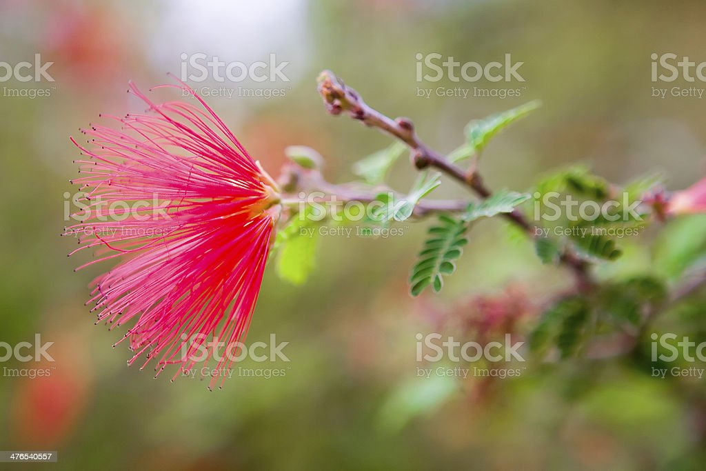 Beautiful flowers of Israel stock photo