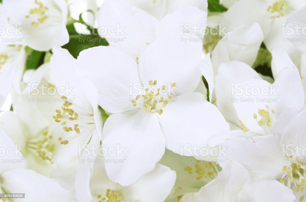Beautiful flowers of jasmine ( Philadelphus) stock photo