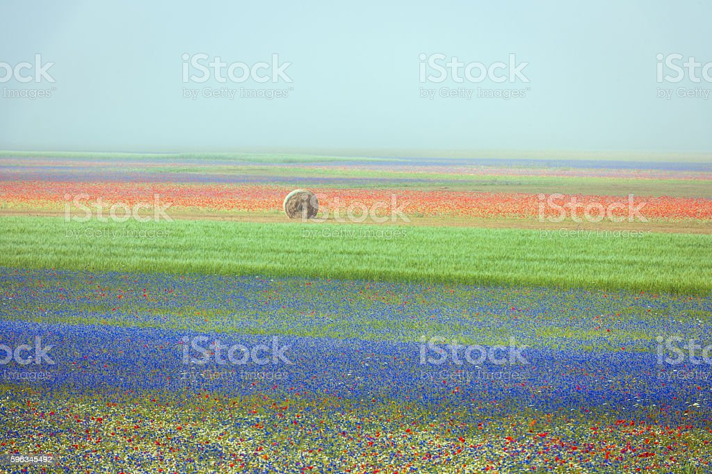 Beautiful flowers of the field in the mist, Castelluccio, Italy stock photo