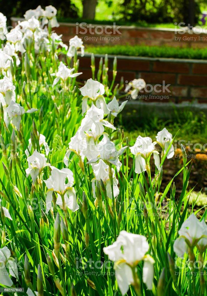 Beautiful flowers of white iris. Beautiful irises on green background. stock photo