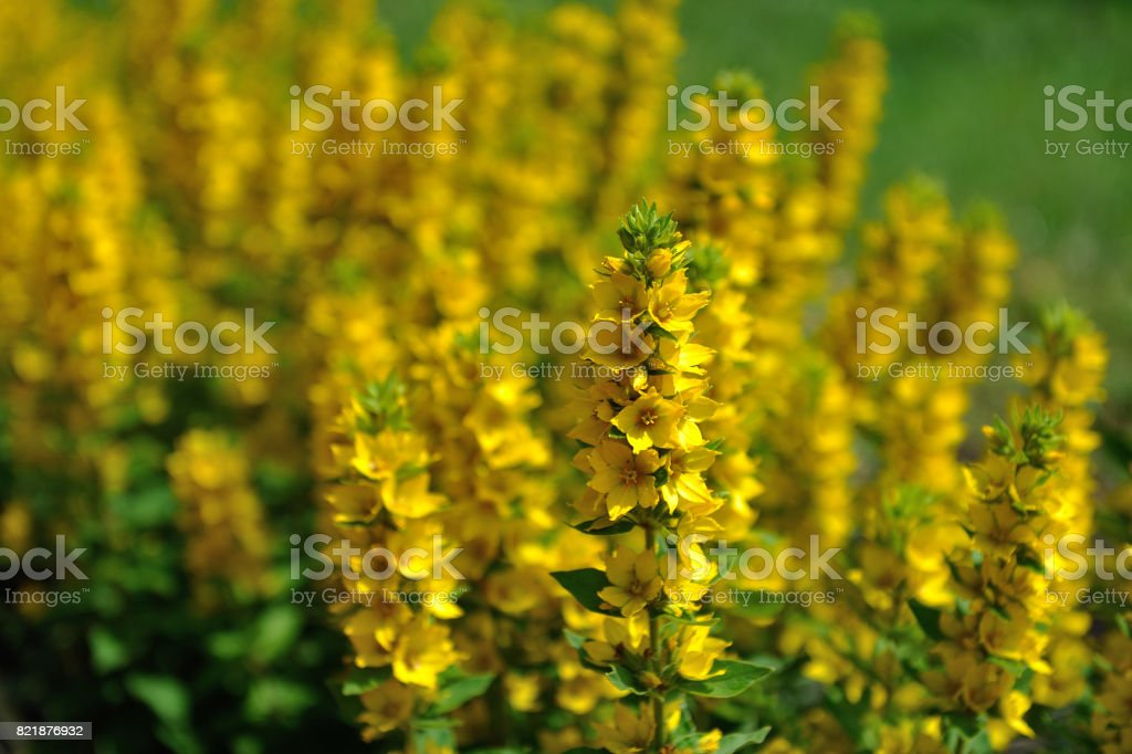 Beautiful flowers of yellow color in the home garden stock photo