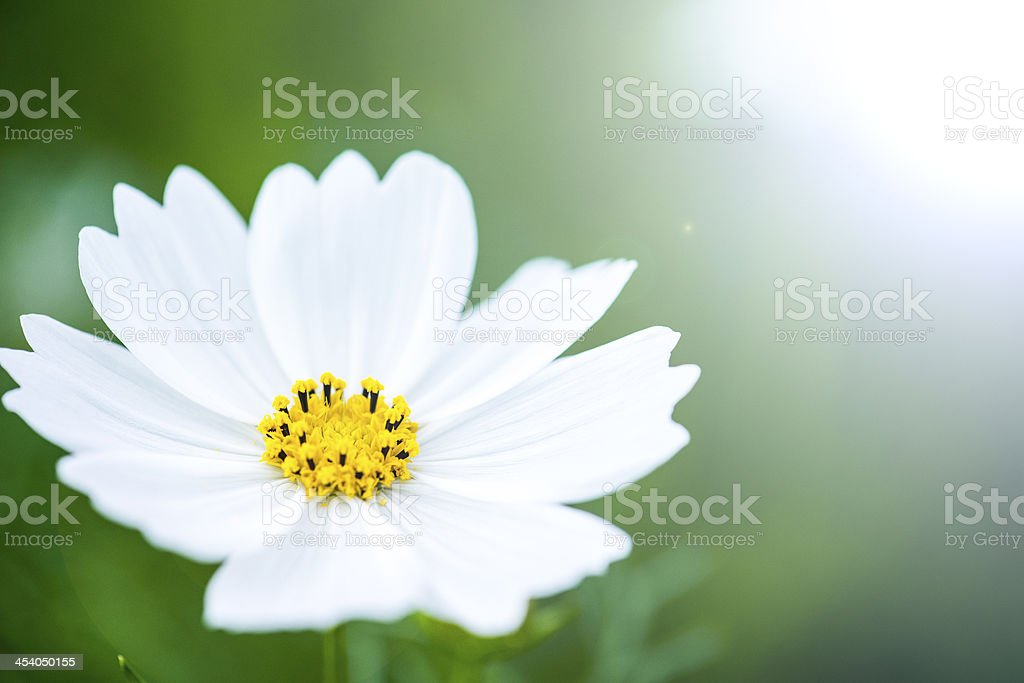 Beautiful flowers royalty-free stock photo