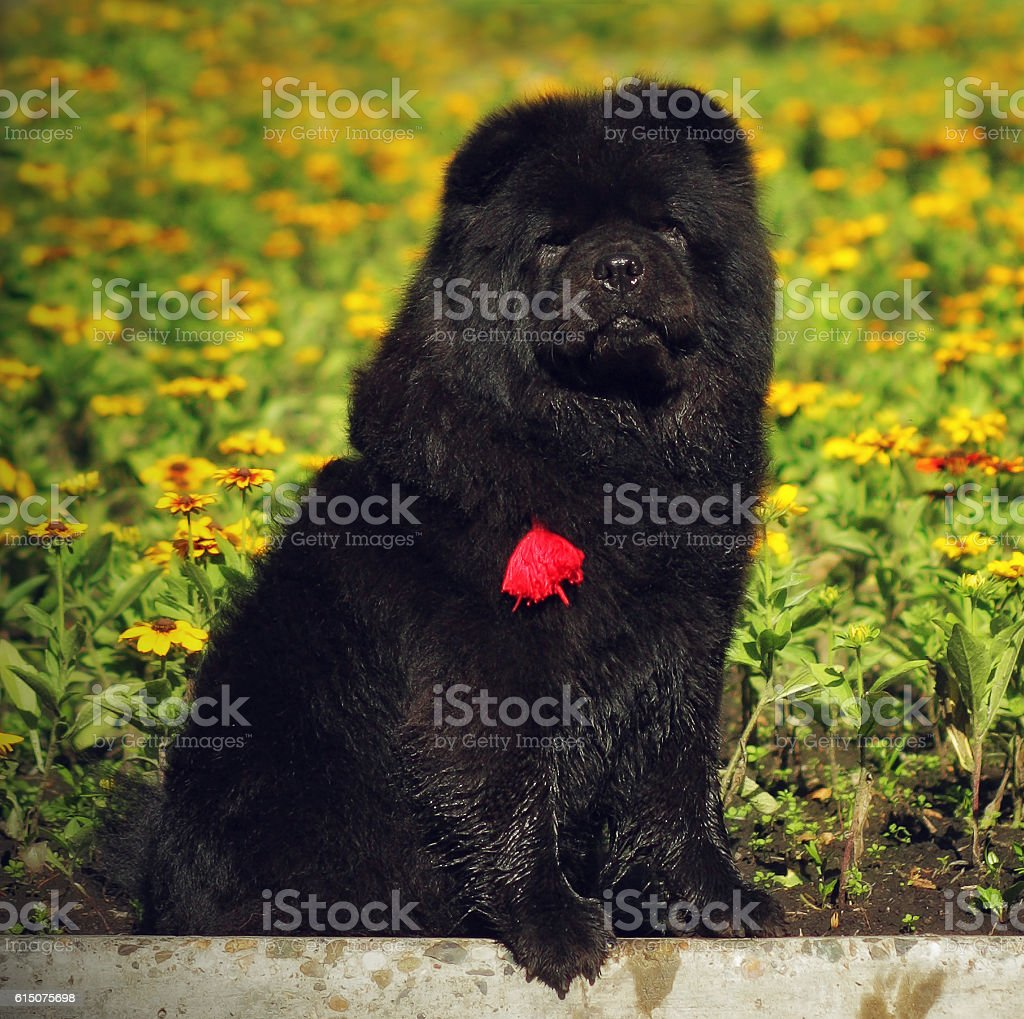 beautiful fluffy black dog breed Chow-Chow sits summer stock photo