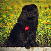 beautiful fluffy black dog breed Chow-Chow sits summer