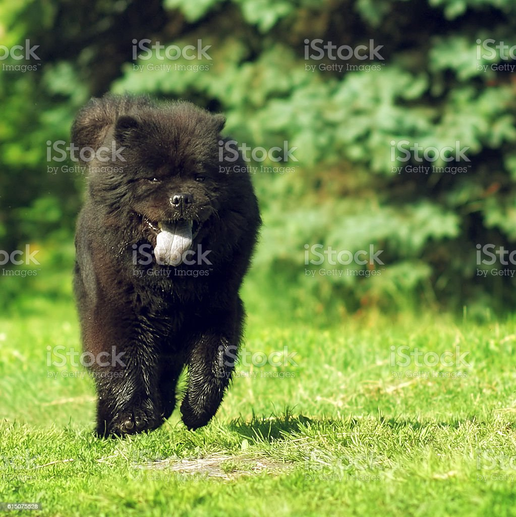 Beautiful fluffy dog breed Chow-Chow rare black color runs stock photo