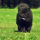 Beautiful fluffy dog breed Chow-Chow rare black color runs