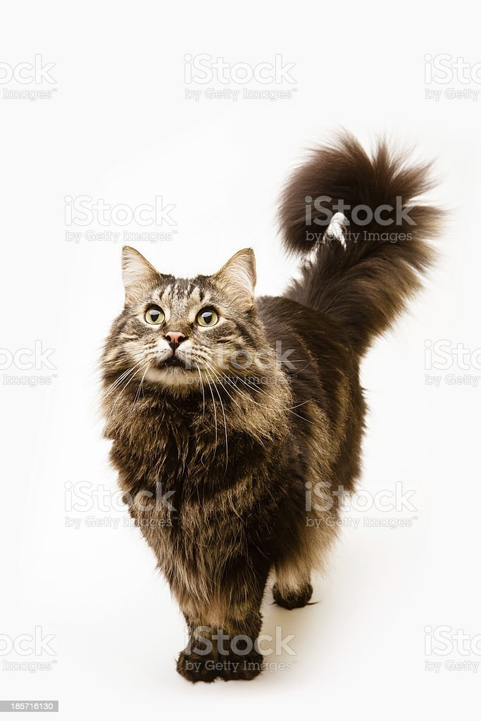 Beautiful fluffy long-hair cat with curling tail royalty-free stock photo