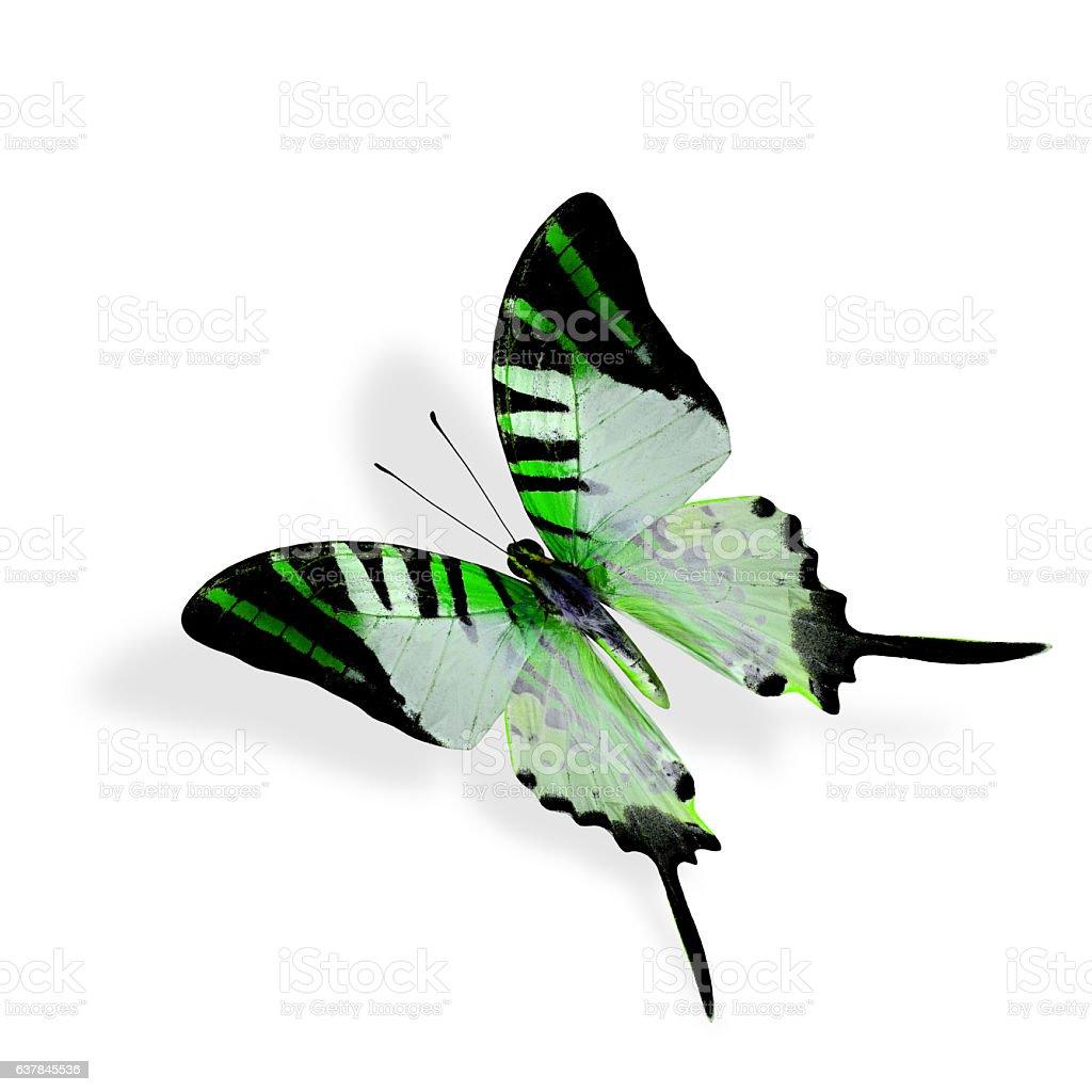Beautiful Flying Green butterfly, Fivebar Swordtail stock photo